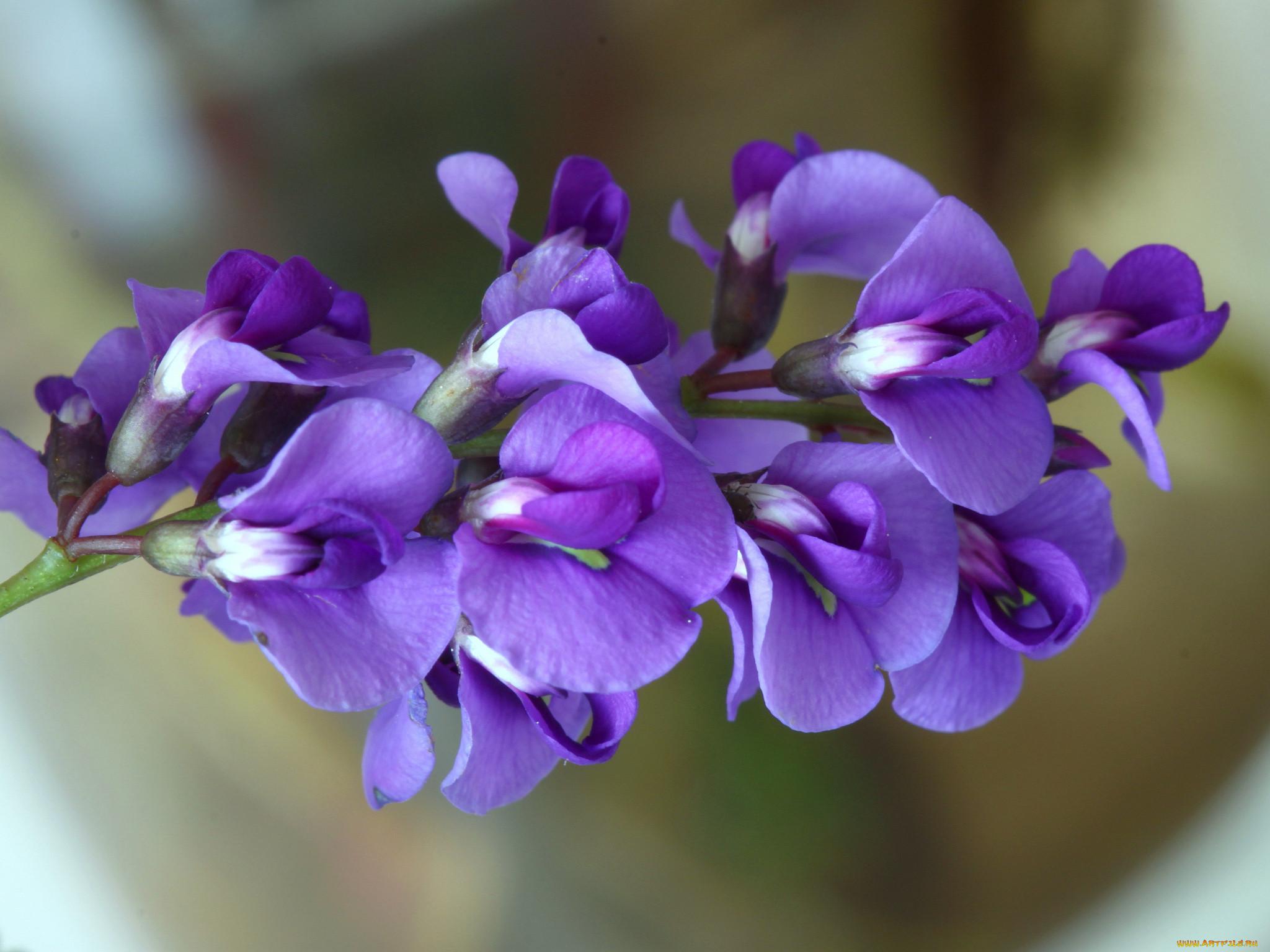Фото цветов горошка
